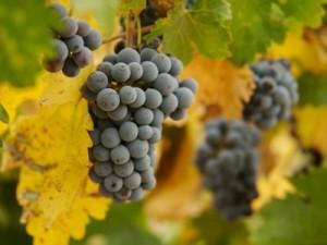 grapes-400