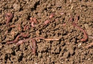 composting garden worms