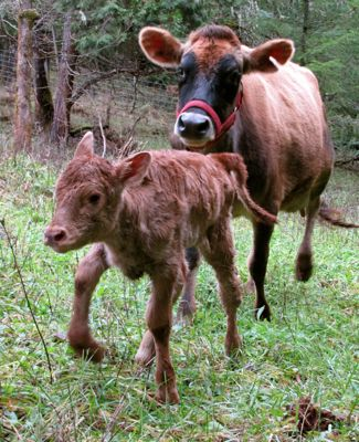 A mama and baby cow running through a green field.