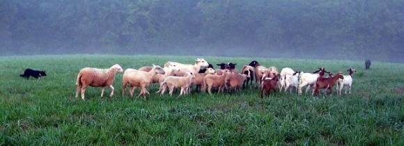sheepandgoats