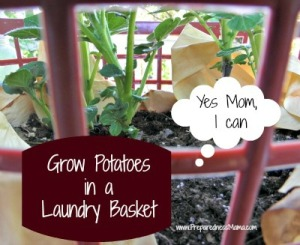 Grow-Potatoes-in-a-laundry-basket
