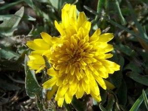 dandelionsyrup