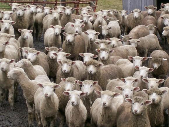 hungry ewes