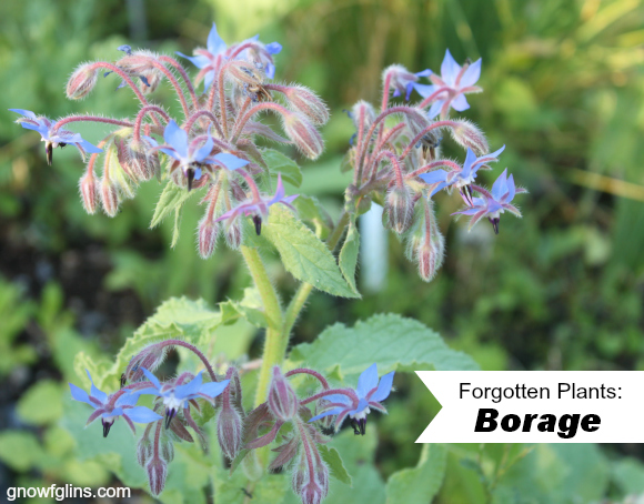 Forgotten Plants: once prolific in the kitchen gardens of our ancestors but now so rare that the average person might never even have heard of them. Many of these deserve to find space in our gardens again! Historically grown for both food and medicine, it has been recorded that Ancient Greek soldiers would drink a mix of Borage tea and wine to fortify themselves before battle. | TraditionalCookingSchool.com
