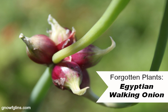 Forgotten Plants: once prolific in the kitchen gardens of our ancestors, but now so rare that the average person might never have heard of them. Many deserve to find space in our gardens again! Egyptian Walking Onions. How can you not love a plant with such an interesting name? | TraditionalCookingSchool.com