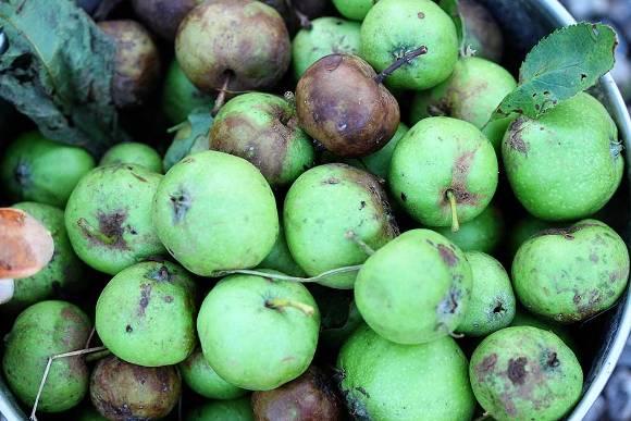 downhome-fallen-apples