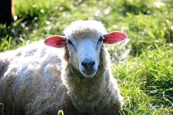 downhome-sheep