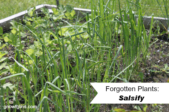 "Forgotten plants: Once prolific in the kitchen garden's of our ancestors, but now so rare that the average person might never have even heard of them. Many of these deserve to find space in our gardens again! This is the fourth post in the series: Salsify. This is where my ""forgotten plant"" adventure began. 
