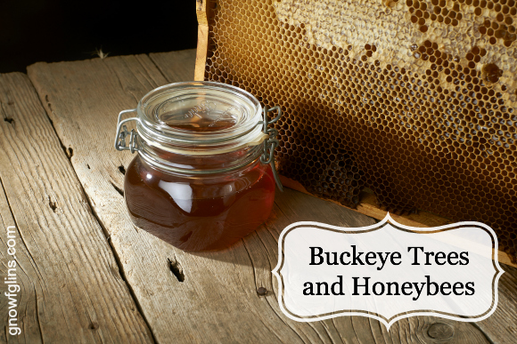 Buckeye Trees and Honeybees | A couple of weeks ago I was in conversation about local foods and resources when I was offered Buckeye honey. I was told this honey is bottled up not far from me here in Northern California. I shrugged and agreed to try it. Having never heard of Buckeye honey, I asked what made it so special. It appears it is rather rare and pretty difficult to find. The reason? It kills the bees. That little bit of information really caught me off guard. | TraditionalCookingSchool.com
