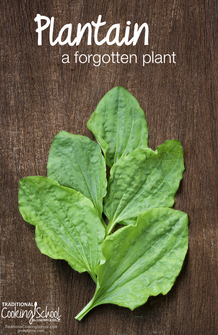 Plantain (a forgotten plant) | I did not know that this common weed was actually an important and useful herb -- and I bet I pull a hundred of them out of my yard every year! Plantain herb, a forgotten plant, has so many uses and benefits as a natural remedy! | TraditionalCookingSchool.com