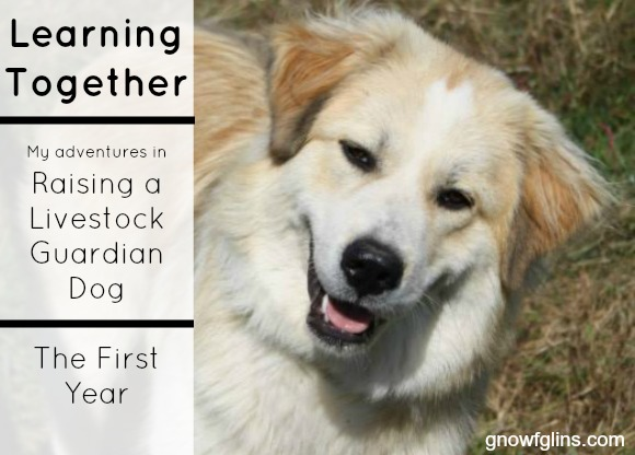 """Raising A LGD -- The First Year   January 5th marked one year since Mindy, our Great Pyrenees/Karakachan dog, came to live with us at Hickory Cove Farm. I thought and prayed about getting a livestock guardian dog for quite a while, and had joined a few Facebook groups that specifically focused on LGD-raising as a way to """"get my feet wet"""". I thought that I would sit back and observe, read others' tips and stories, ask a few questions, and keep an eye out for an available puppy with the right price Raising A LGD -- The First Year   January 5th marked one year since Mindy, our Great Pyrenees/Karakachan dog, came to live with us at Hickory Cove Farm. I thought and prayed about getting a livestock guardian dog for quite a while. I thought that I would sit back and observe, read others' tips and stories, ask a few questions, and keep an eye out for an available puppy with the right and location. Then one day, Mindy's picture showed up in the group, and I melted.   TraditionalCookingSchool.com"""