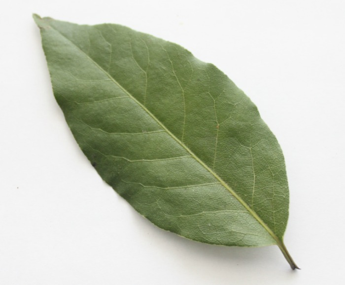 Spotlight on Herbs: Bay Leaf | The humble bay leaf -- cultivated since the beginning of recorded history, used as a symbol of honor in Ancient Greek and Roman culture, and one of the most widely used culinary herbs in both Europe and North America. Living in a cold northern climate where bay laurel trees must be grown indoors, it took me two years to find one to add to my indoor garden, and (thankfully) it was one of the few plants that survived our recent move and continues to thrive with nothing but a sunny window for light! | TraditionalCookingSchool.com