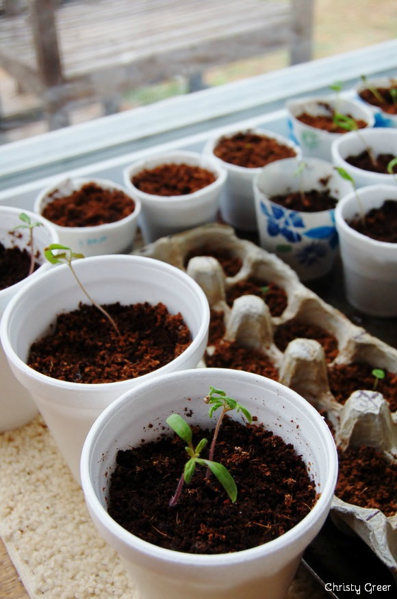 """I live in suburbia, right smack-dab in the heart of the big city suburbs. I'm a wanna-be homesteader, dreaming and planning to buy a few acres one day soon. Yet, I am gardening in my postage stamp yard, and last year harvested over $500 worth of food from my little garden beds. If you are a wanna-be homesteader, too, now is the time to ""dig in"" and learn how to garden — even in small spaces!"" 