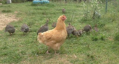 Homespun Chick Farm Tour | We're heading down home... to your farms! Urban, suburban, or rural -- whatever you're growing and doing, we want to see it. Today you get to visit Tami and family from Missouri. She and her family share 28 acres with chickens, ducks, guinea, alpaca, rabbits and gardens. | TraditionalCookingSchool.com