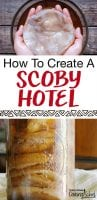 hands holding kombucha scoby and how to create a scoby hotel text overlay