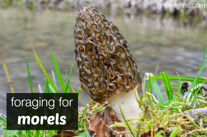 Foraging for Morels (and preserving methods)| Although we may still see a frost or two, spring has finally sprung here in northern Idaho. Our most favorite thing to do this time of year is forage for morel mushrooms! I'm thrilled to share our morel excitement with you (and I hope it's contagious) plus give you ideas for eating and preserving morels. | TraditionalCookingSchool.com