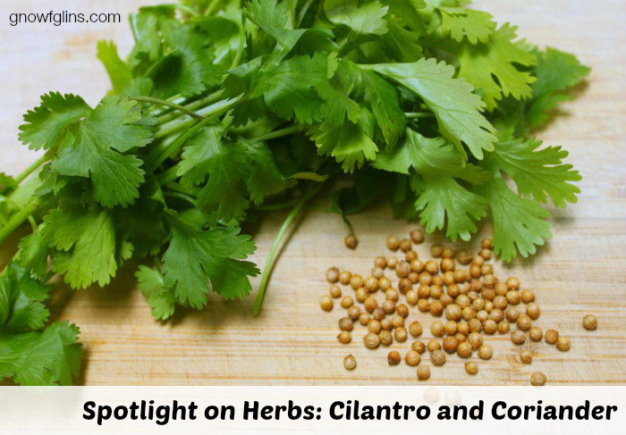 Spotlight on Herbs: Cilantro and Coriander | Cilantro has quickly become one of my favorite garden plants. It is incredibly easy to grow, and its beautiful leaves add a fresh burst of flavor to so many summertime dishes. Add its many health benefits and medicinal properties to the mix, and it's no wonder I grow this plant several of my gardens!| TraditionalCookingSchool.com