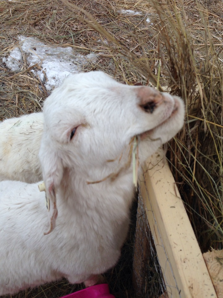 Nanny Goat Acres | Today you get to meet Cindy, Colin, and their four children. They are farming and homesteading on over 1000 acres in Canada raising cattle, goats, chickens, turkeys, horses and more. | TraditionalCookingSchool.com