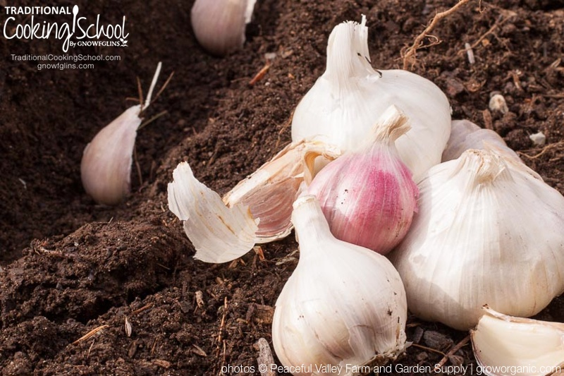 A Complete Guide To Growing Garlic {from planting to harvest} | Garlic is a flavorful cooking ingredient and healthful plant used all over the world. Although it is widely available in supermarkets, homegrown garlic surpasses its commercially-grown cousins in both variety and flavor. Here's how to plant, grow, and harvest garlic. | TraditionalCookingSchool.com
