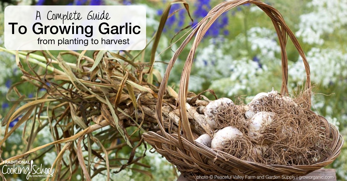 how to grow russian garlic