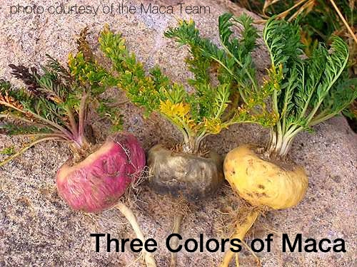 This Superfood Increases My Vitality | Did you know there's a Peruvian root that's been cultivated for thousands of years that can help with energy, fertility, hormonal dysfunction, depression, circulation, mental acuity, and more? Here's my experience with it, plus the potential benefits of maca, where to find it, and how to use it. | TraditionalCookingSchool.com