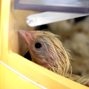My interest in chickens has grown ever since we started our flock two years ago with eight Rhode Island Red pullets. I recently told my husband that I would love to start raising them with an interest in preserving them. He responded with the gift of an incubator so I could hatch my own. Here are a few things we learned when choosing our incubator, and a few things you might want to consider. | TraditionalCookingSchool.com