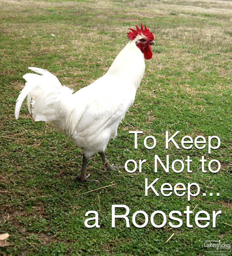 To Keep or Not to Keep... a Rooster | While doing our research on chickens, we heard a number of both good and bad things about roosters. In the end, the good outweighed the bad... and we decided to give a rooster a chance. After nearly a year now, with not just one, but three roosters, here is our take on keeping a male bird. | TraditionalCookingSchool.com