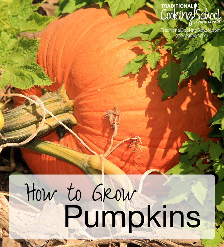 How to Grow Pumpkins   Pumpkins are a favorite garden vegetable. Not only do they make pretty fall decorations for your front porch, but they perform beautifully in the kitchen -- starring in a number of savory and sweet recipes. If you have space in your garden, they're really easy to grow -- here's how.   TraditionalCookingSchool.com