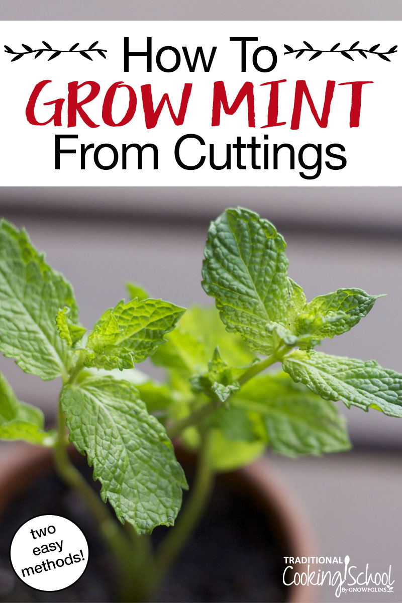 How To Grow Mint From Cuttings 2 Methods