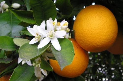four oranges on an orange tree with clusters of white orange blossoms