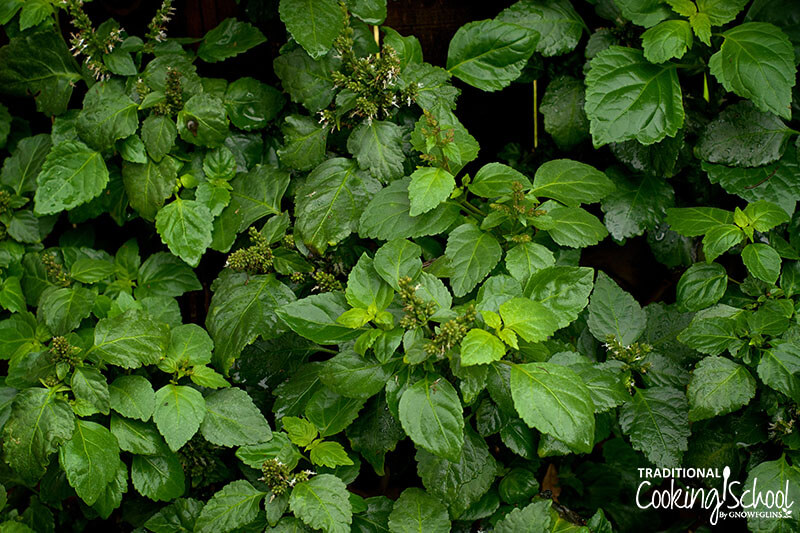 patchouli plants with bright green leaves