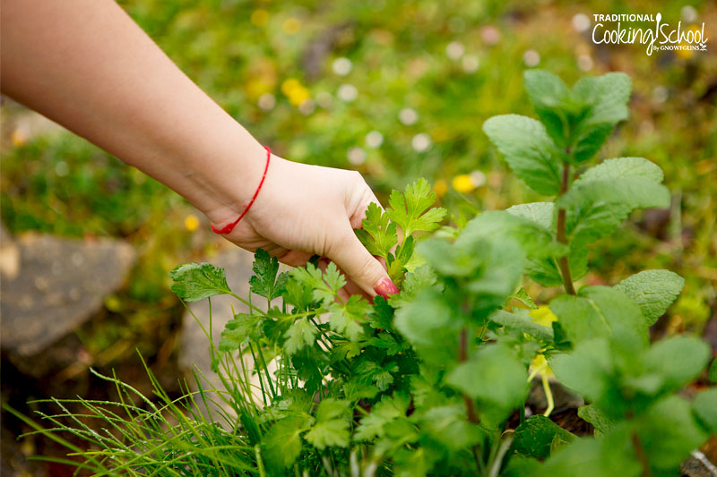 woman's hand picking parsley from her garden