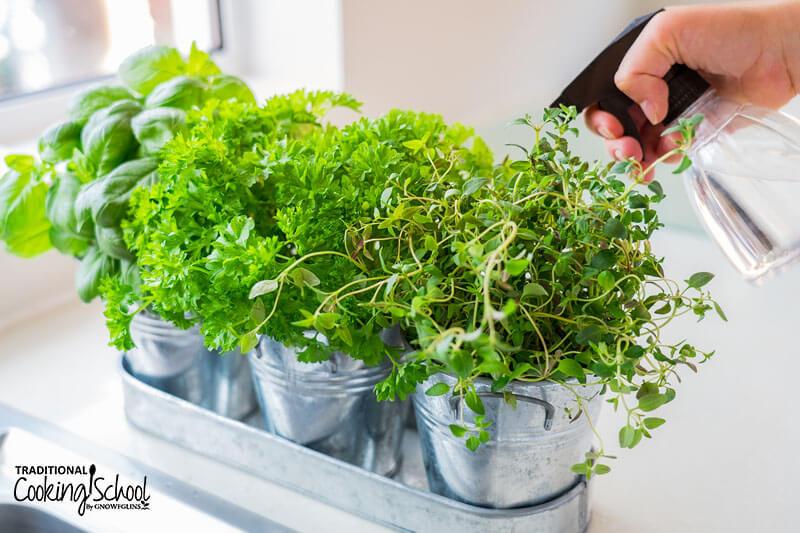 person's hand spritzing an indoor herb garden, of three herbs in small metal pots