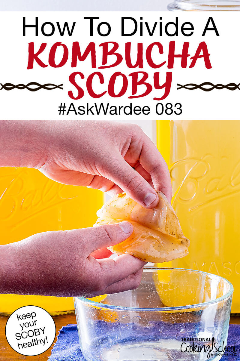 """hands peeling apart a Kombucha SCOBY over a small bowl. Text overlay says: """"How To Divide A Kombucha SCOBY #AskWardee 083 (keep your SCOBY healthy!)"""""""