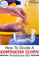 """hands peeling apart a Kombucha SCOBY over a small bowl. Text overlay says: """"How To Divide A Kombucha SCOBY #AskWardee 083 (to share with family & friends!)"""""""