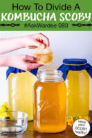 "hands peeling apart a Kombucha SCOBY over a jar of golden-colored brew. Text overlay says: ""How To Divide A Kombucha SCOBY #AskWardee 083 (keep your SCOBY healthy!)"""