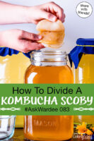 "hands peeling apart a Kombucha SCOBY over a jar of golden-colored brew. Text overlay says: ""How To Divide A Kombucha SCOBY #AskWardee 083 (share with friends!)"""