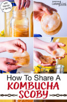 "photo collage of dividing a Kombucha SCOBY, including peeling it apart and placing it back in a jar full of other SCOBYS. Text overlay says: ""How To Share A Kombucha SCOBY (with friends & family!)"""