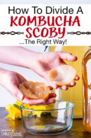 """hands holding two pieces of a Kombucha SCOBY over a small bowl. Text overlay says: """"How To Divide A Kombucha SCOBY ...The Right Way!"""""""