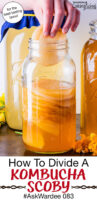 """hand placing a Kombucha SCOBY in a jar full of other SCOBYS suspended in golden-colored liquid. Text overlay says: """"How To Divide A Kombucha SCOBY #AskWardee 083 (for the best-tasting brew!)"""""""