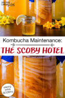 "photo collage of jars of Kombucha, including one ""hotel"" with SCOBYs suspended in the finished brew, as well as a small cup of Kombucha. Text overlay says: ""Kombucha Maintenance: The SCOBY Hotel (storing extra SCOBYs!)"""