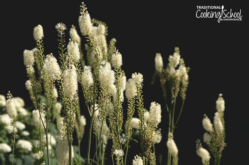 Black cohosh herb.