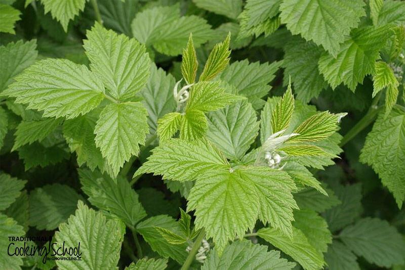 Fresh red raspberry leaf herb.
